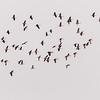Sandhill cranes migrating South