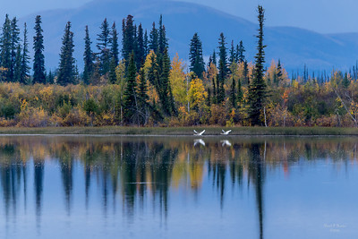 Trumpeter Swans On Takeoff