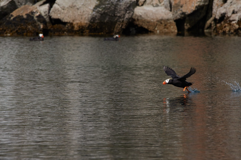 Tufted Puffins - take off