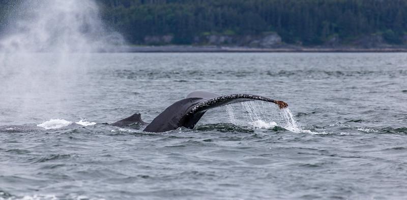 Alaska Juneau Whales 6-26-16_MG_9091-2