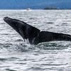 Alaska Whale Tail Juneau 6-26-16_MG_9018