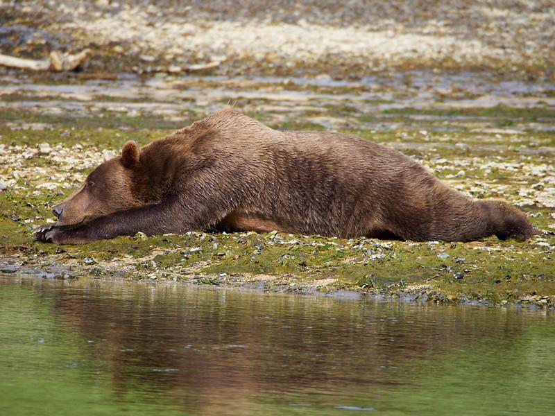 Grizzly Bear - break time