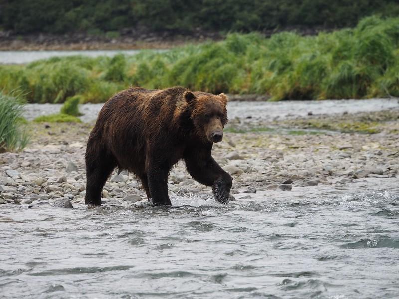 Grizzly Bear, Katmai National Park