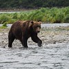 Grizzly Bear, Katmai National Park