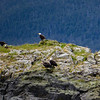 Alaska Juneau Eagles 6-26-16_P1010214