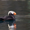 Tufted Puffin, Kodiak