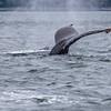 Alaska Juneau Whales 6-26-16_MG_9092
