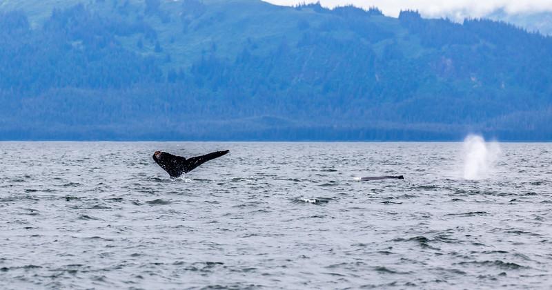 Alaska Juneau Whales 6-26-16_MG_9148