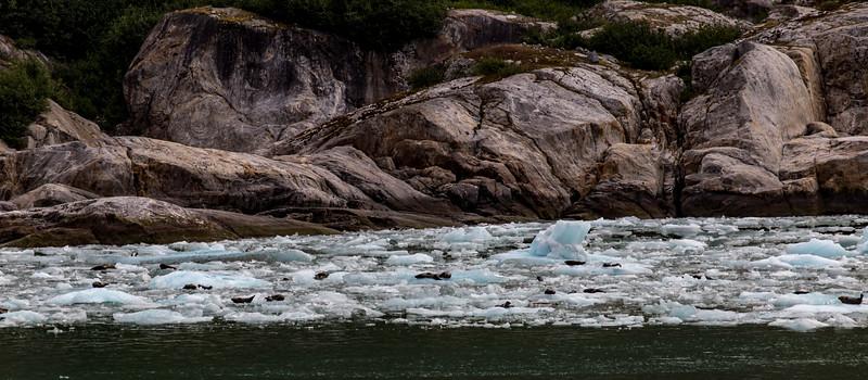 Alaska Tracy Arm Iceflow-Seals 6-28-16_MG_9996