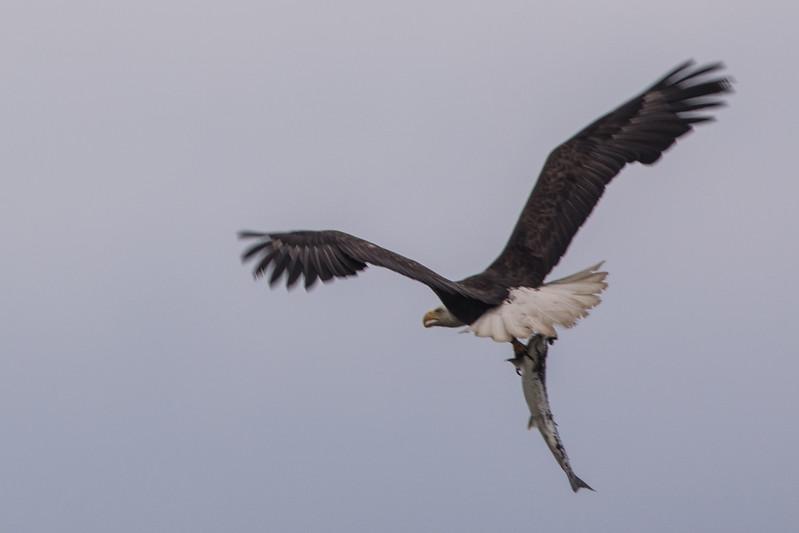 Bald eagle with a kill (salmon)