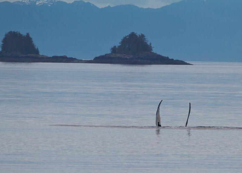 Humpback Whale Fin Slapping<br /> Frederick Sound, Alaska Wilderness Adventure Cruise