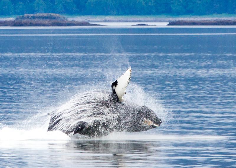 Humpback Whale<br /> Frederick Sound, Alaska Wilderness Adventure Cruise