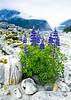 Lupines Baird Glacier Hike<br /> Baird Glacier, Alaskan Wilderness Adventure Cruise