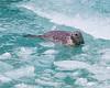 Harbor Seal<br /> Harbor Seal in Tracy Arm Fjord, Alaska