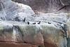 Pigeon Guillemot Rock<br /> Pigeon Guillemot Rock, North Sawyer Glacier, Tracy Arm Fjord, Alaska