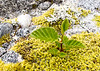 Alder Seedling<br /> Baird Glacier, Alaskan Wilderness Adventure Cruise