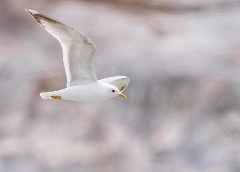Mew Gull<br /> Mew gull, North Sawyer Glacier, Tracy Arm Fjord, Alaska