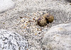 Arctic Tern Nest Closeup<br /> Baird Glacier, Alaskan Wilderness Adventure Cruise