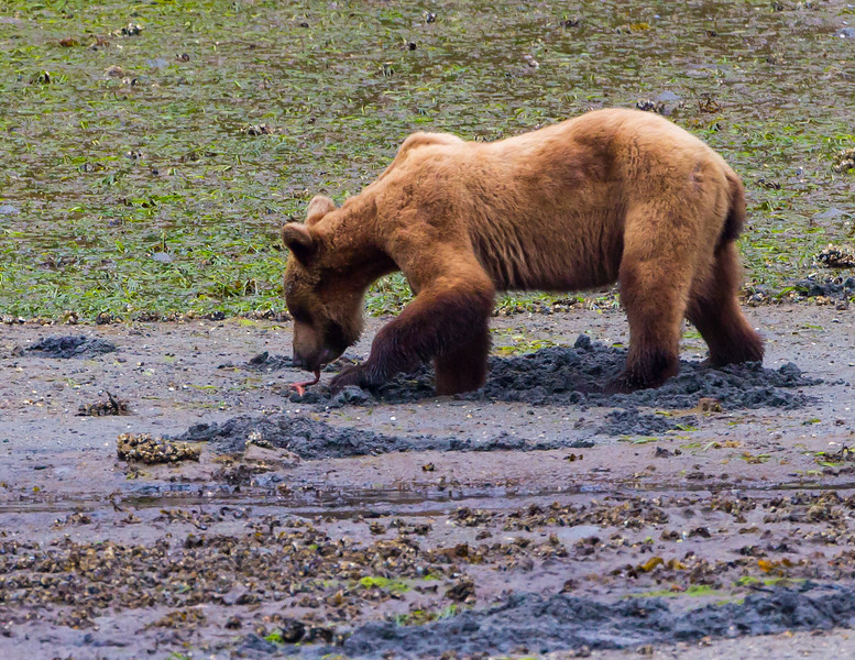 Bloodworm feast<br /> Juvenile Coastal Brown Bear eating a Bloodworm, Yes Bay, Misty Fjords National Monument, Tongass National Forest, 50 miles north of Ketchikan, Alaska