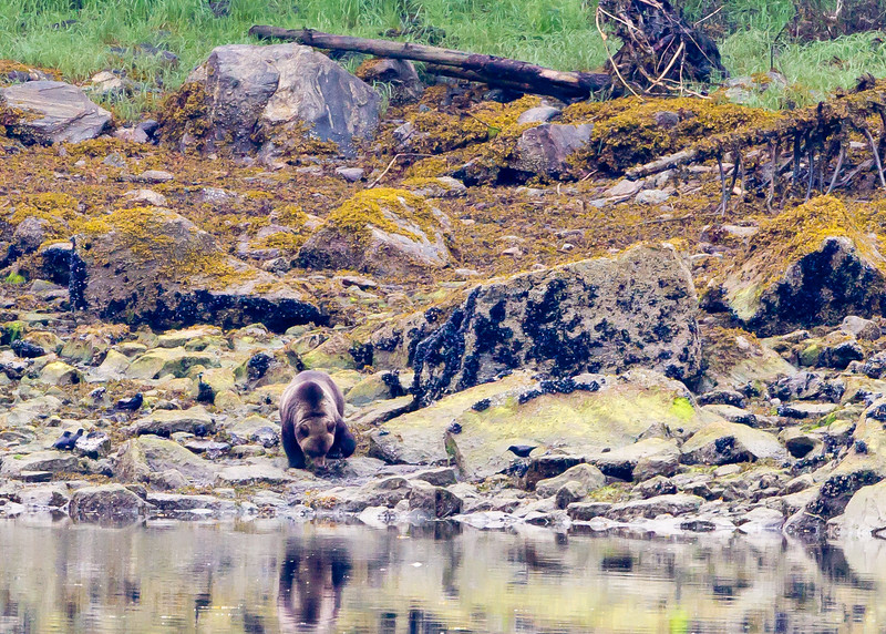 Coastal Brown Bear<br /> Walker Cove, Yes Bay, Alaska Wilderness Adventure Cruise