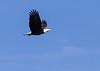 Bald Eagle cropped<br /> Bald Eagle Prince Rupert British Columbia