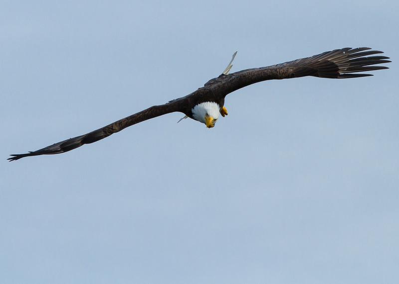Bald Eagle<br /> Bald Eagle Prince Rupert British Columbia