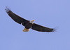 Bald Eagle cropped<br /> Bald Eagle Prince Rupert British Columbia