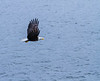 Bald Eagle cropped Bald Eagle Prince Rupert British Columbia