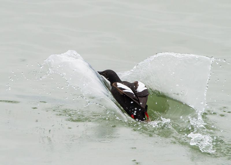 Pigeon Guillemot<br /> Pigeon Guillemot, Wrangell, Alaska, Wilderness Adventure Cruise
