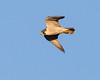Peregrine Falcon <br /> Hayden Valley, Yellowstone National Park