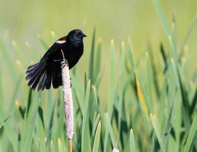 Red-winged Blackbird<br /> Red-winged Blackbird, Freezout Lake WMA, Montana
