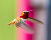 Rufous Hummingbird cropped<br /> Rufous Hummingbird Jasper National Park Canadian Rockies