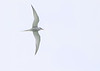Arctic Tern<br /> Arctic Tern North Sawyer Glacier Alaska