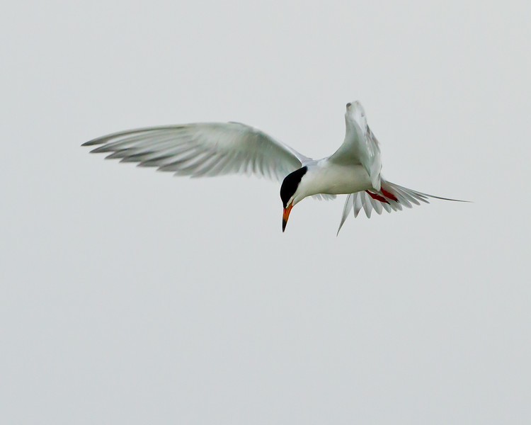 Forster's Tern<br /> Forster's Tern, Freezeout Lake, Montana