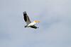 White Pelican<br /> White Pelican Freezeout Lake WMA Montana
