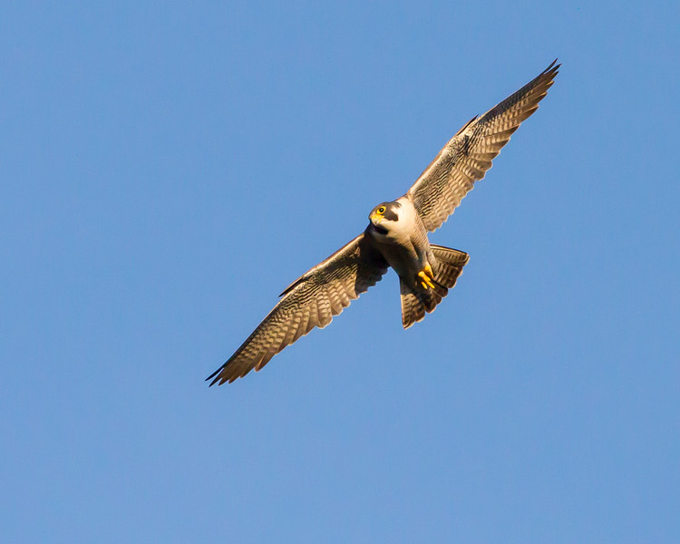 Peregrine Falcon cropped<br /> Hayden Valley, Yellowstone National Park