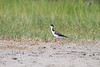 Black-necked Stilt<br /> Black-necked Stilt  Freezeout Lake WMA  Montana
