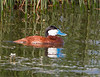 Ruddy Duck Male<br /> Ruddy Duck Male Freezeout Lake WMA, Montana