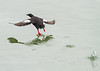 Pigeon Guillemot<br /> Pigeon Guillemot, Wrangell, Alaska, Wilderness Adventure Cruise
