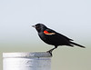 Red-winged Blackbird<br /> Red-winged Blackbird, Montana