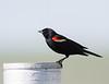 Red-winged Blackbird<br /> Red-winged Blackbird, Montana