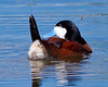 Ruddy Duck Male<br /> Ruddy Duck Male Alberta, Canada
