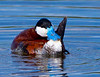 Ruddy Duck Male<br /> Ruddy Duck Male Alberta, Canada
