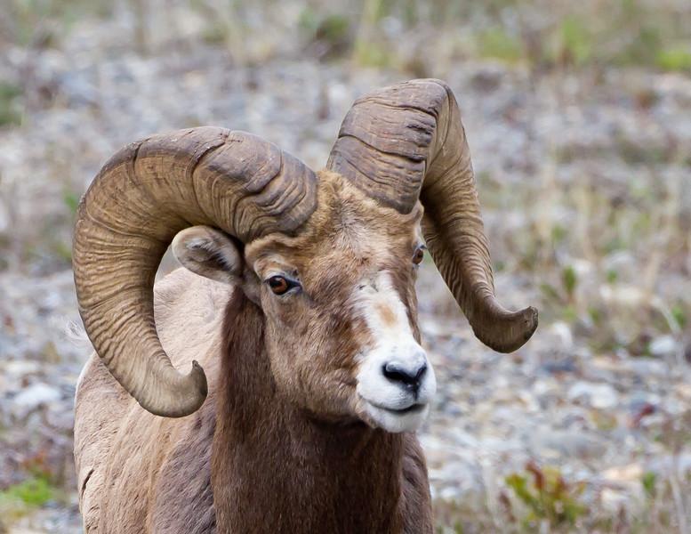 Athabasca Big Horn Ram cropped<br /> Big Horn Ram Athabasca Glacier Jasper National Park, Parker Ridge