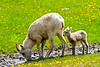 Big Horn Ewe and Lamb<br /> Big Horn Ewe and very Hungry Lamb, Kananaskis Highway, Alberta, Canada