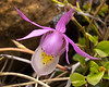 Calypso Orchid<br /> Calypso Orchid, Emerald Lake, Yoho National Park, British Columbia, Canada
