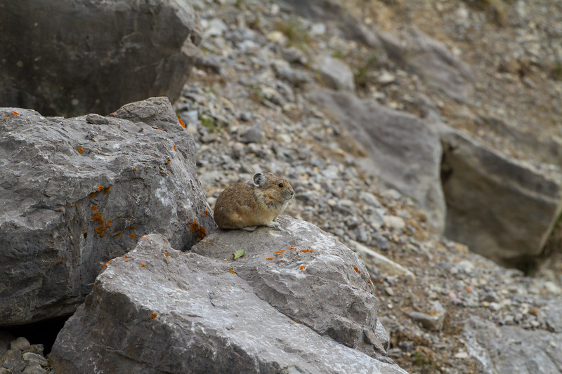 Collared Pika<br /> Collared Pika, Medicine Lake, Jasper National Park