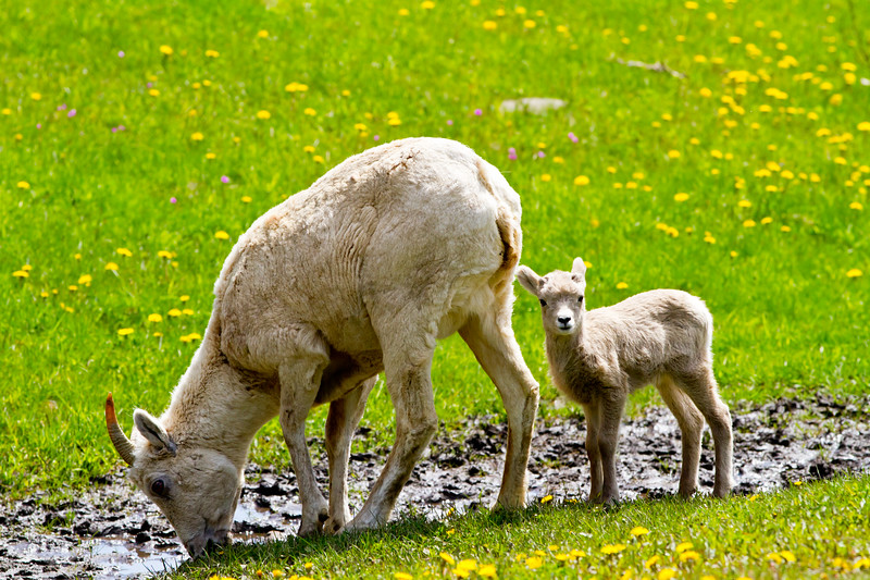 Big Horn Ewe and Lamb<br /> Big Horn Ewe and Hungry Lamb, Kananaskis Highway, Alberta, Canada