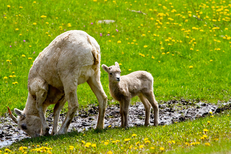 Big Horn Ewe and Lamb<br /> Big Horn Ewe and Lamb, Kananaskis Highway, Alberta, Canada