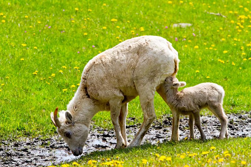 Big Horn Ewe Feeding Lamb<br /> Big Horn Ewe Feeding Lamb, Kananaskis Highway, Alberta, Canada